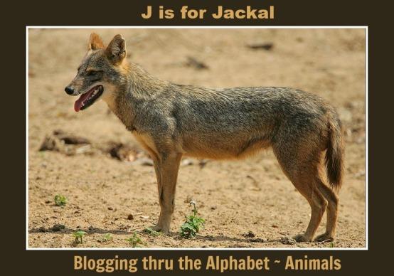 Jackal2