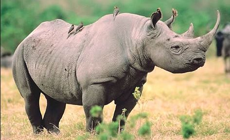 Rhino_blk