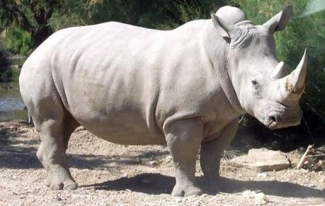 Rhino_white